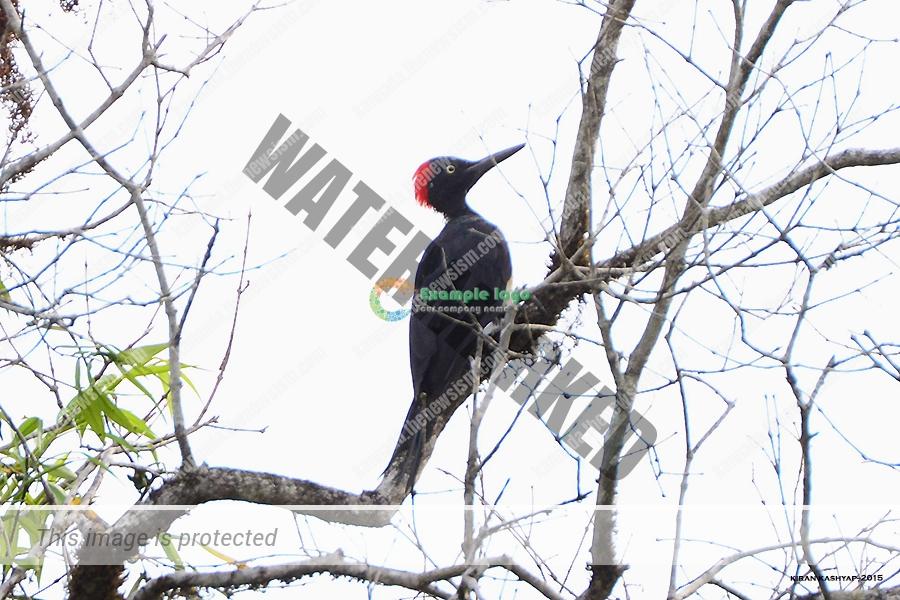 White Bellied Woodpecker.