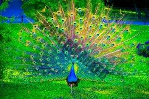 67269172-peacock-wallpapers